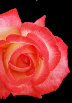 rose-home-links