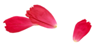 rose-petal-340x164-rechts